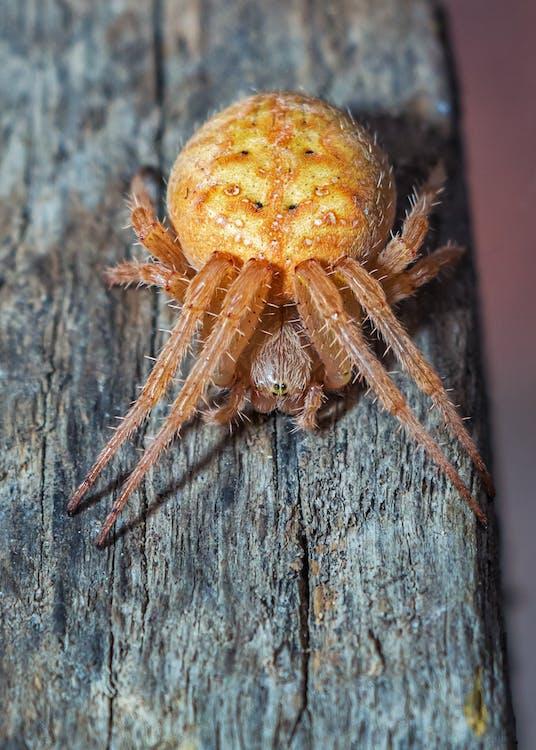 aràcnid, araneidae, aranya
