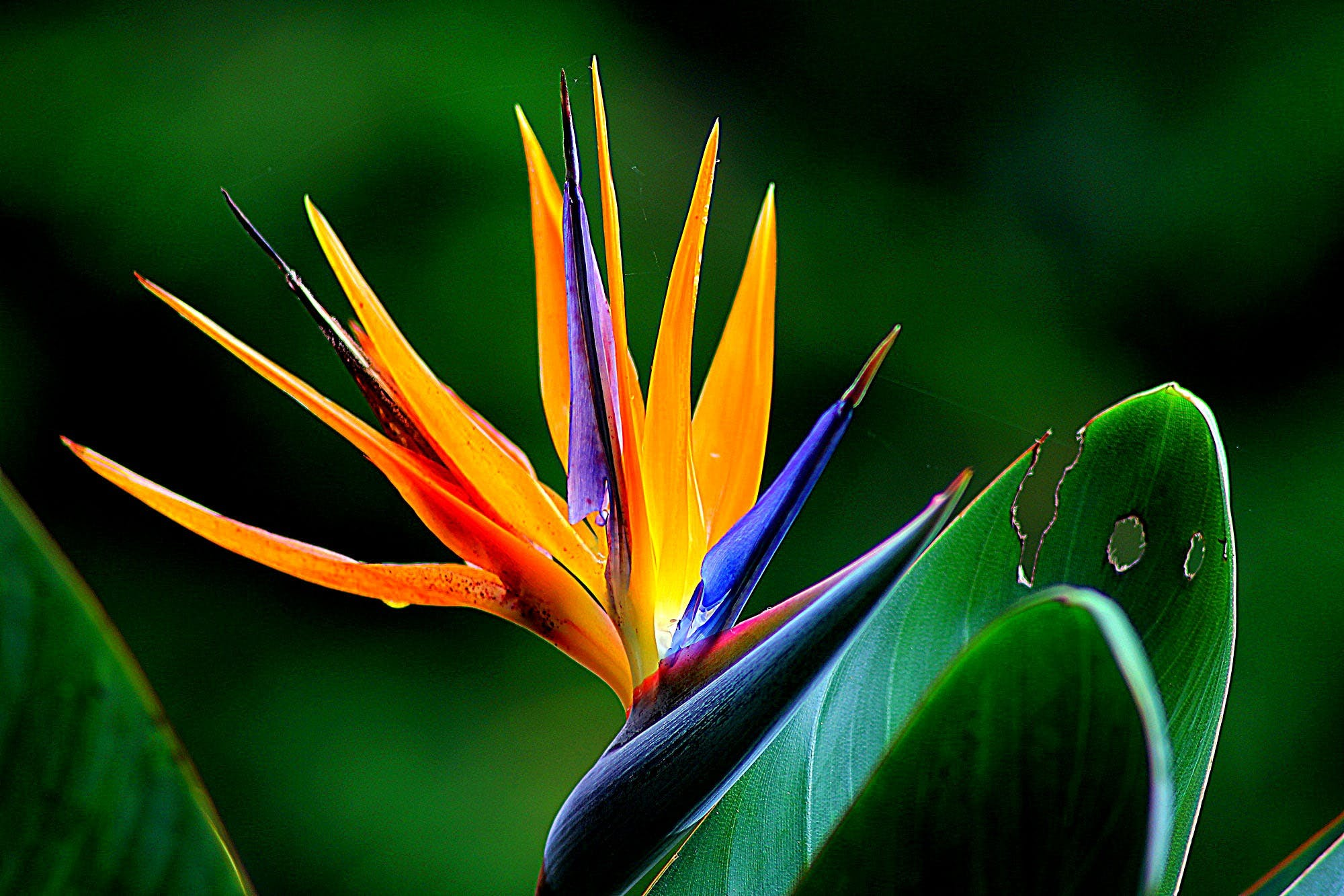 Orange and Purple Birds of Paradise Flower