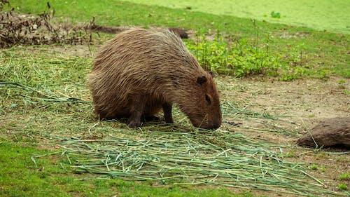 คลังภาพถ่ายฟรี ของ capybara, การถ่ายภาพสัตว์, ที่อยู่อาศัย