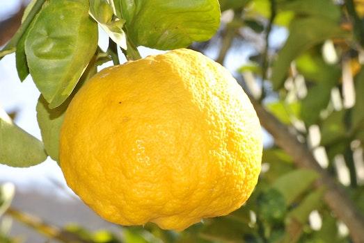 Lemon Fruit on Branch during Day Time