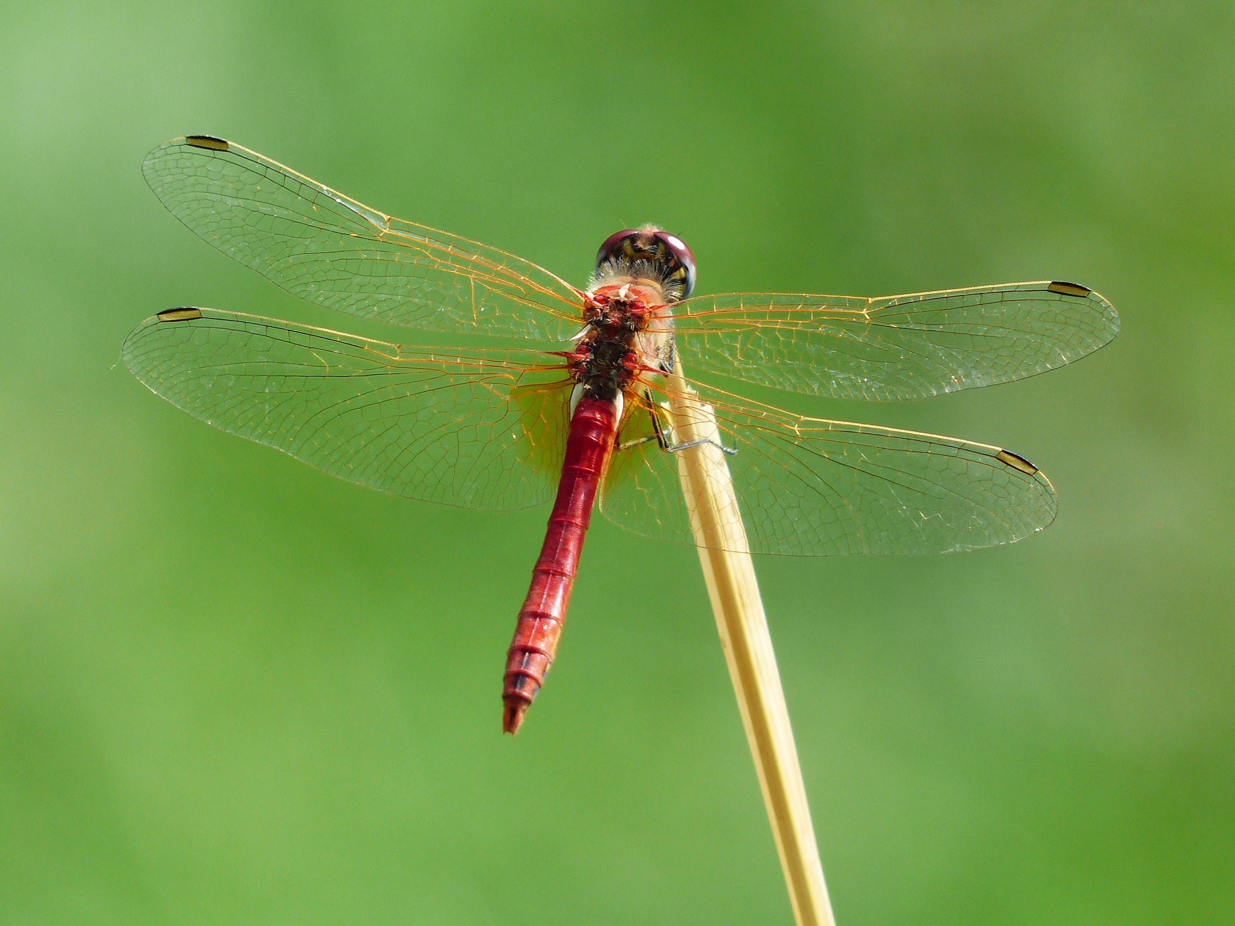 Red Dragonfly on Brown Twig