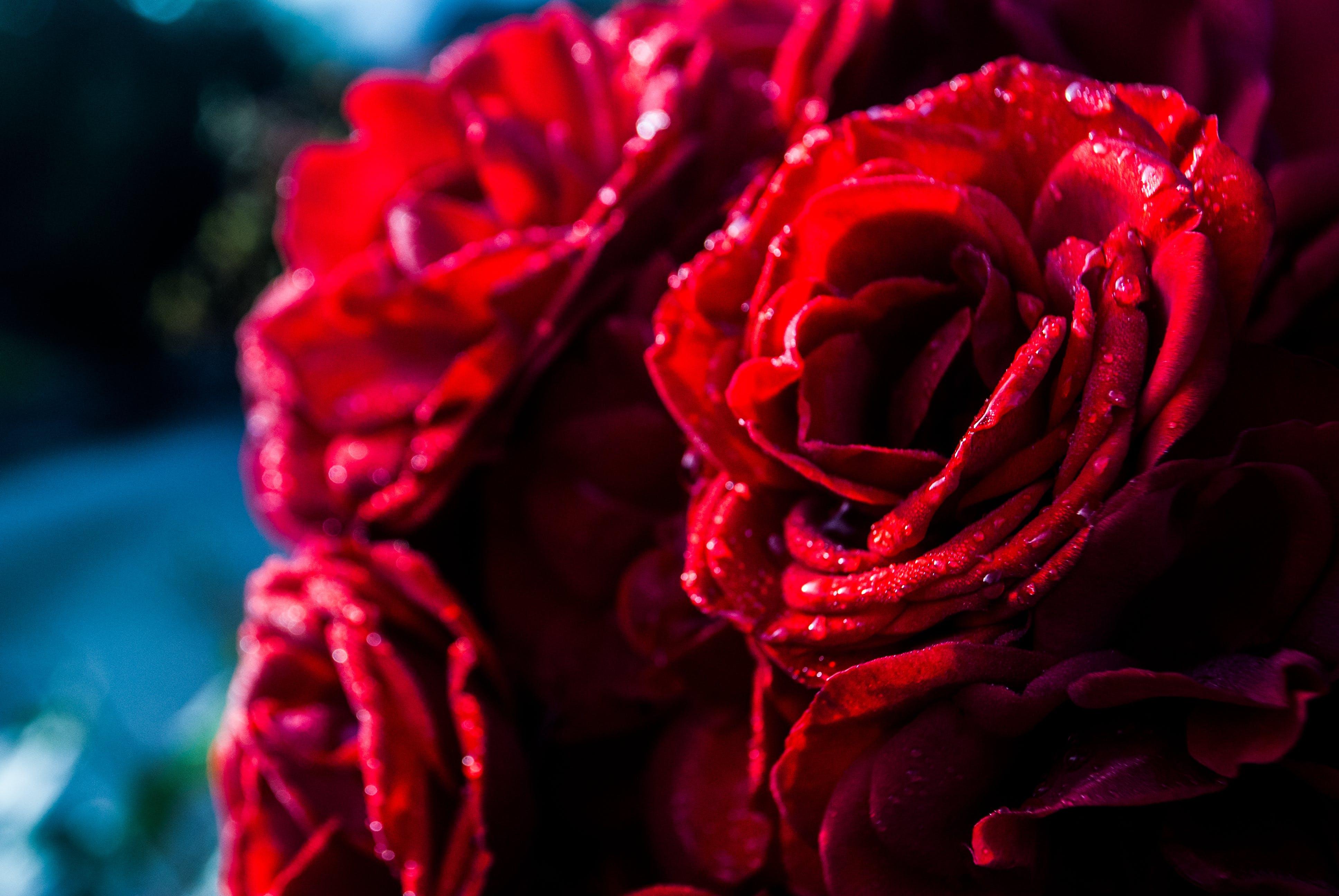 Gratis lagerfoto af røde roser, smukke blomster