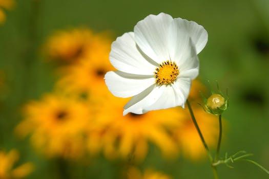 White and yellow flower free stock photo white petaled flower near yellow petaled flower mightylinksfo