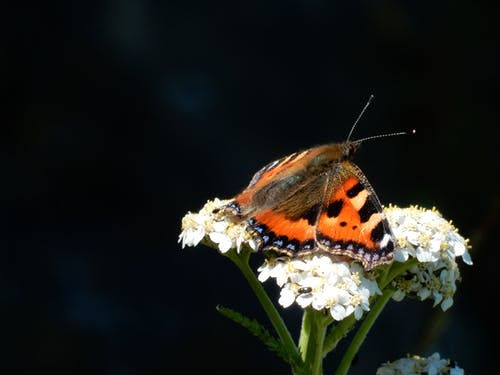 Free stock photo of butterfly on a flower, nature, tortoise shell butterfly