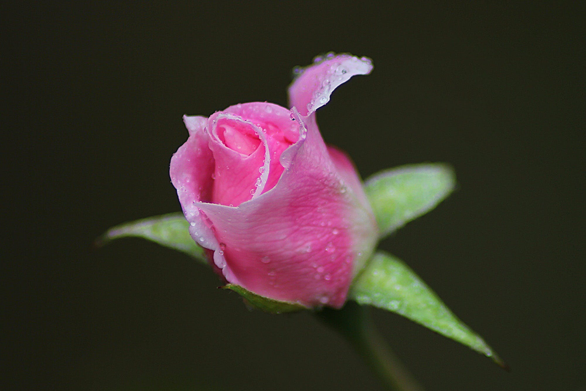 Pink Rose in Shallow Photography