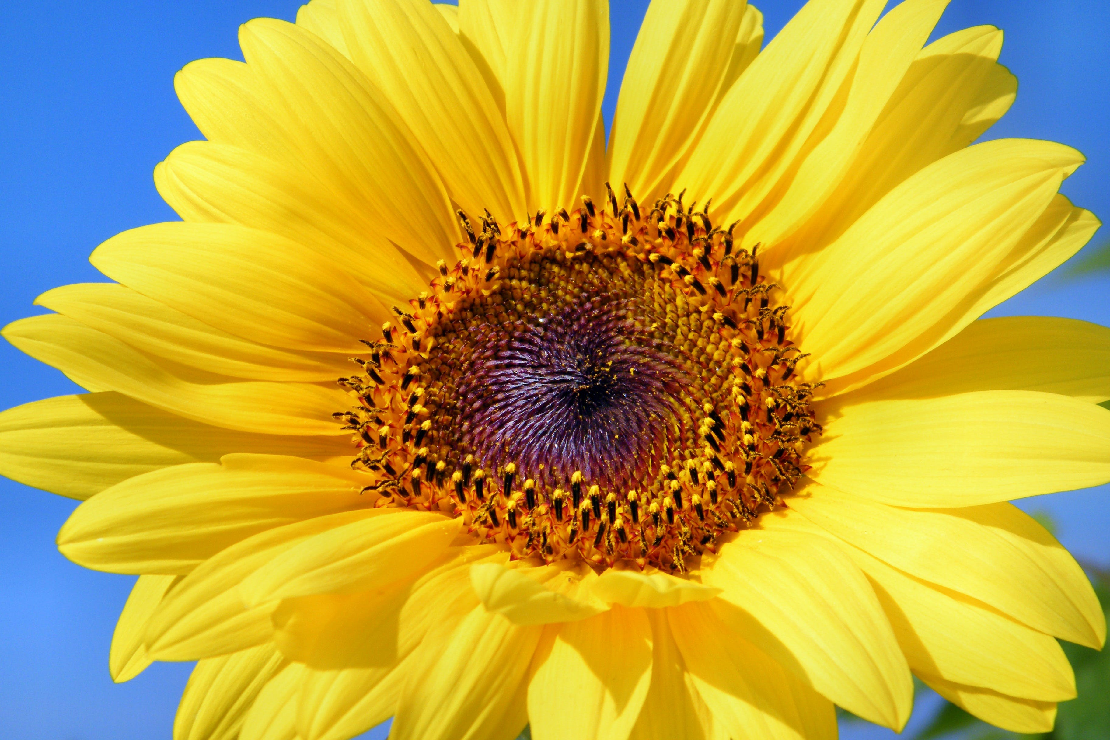Free stock photo of flowers, summer, sun, yellow
