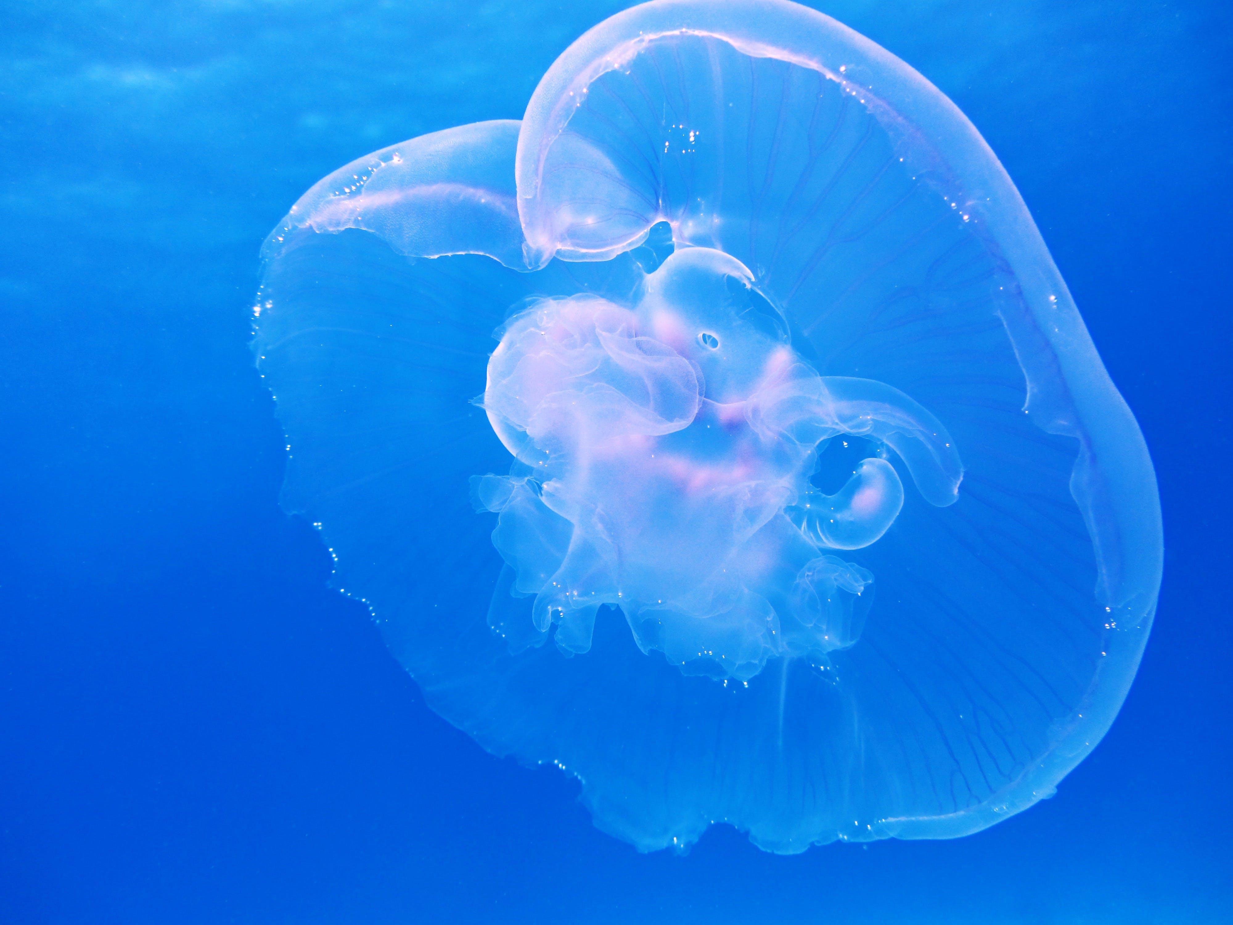 blue, gelatinous, jellyfish
