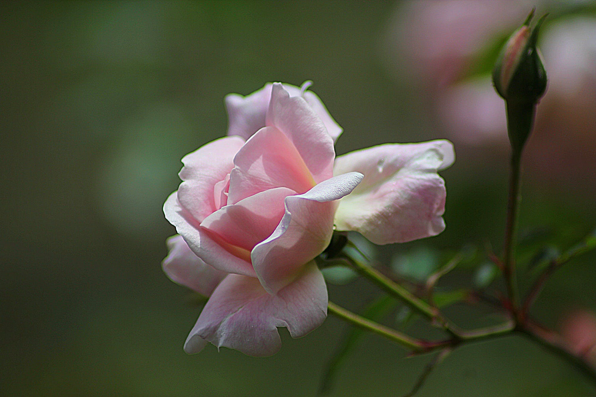 Pink Rose Close Up Photography