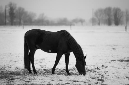 Black horse grazing in snowy pasture