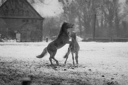 Black and white of playful horses on snowy ground against bare trees in winter countryside