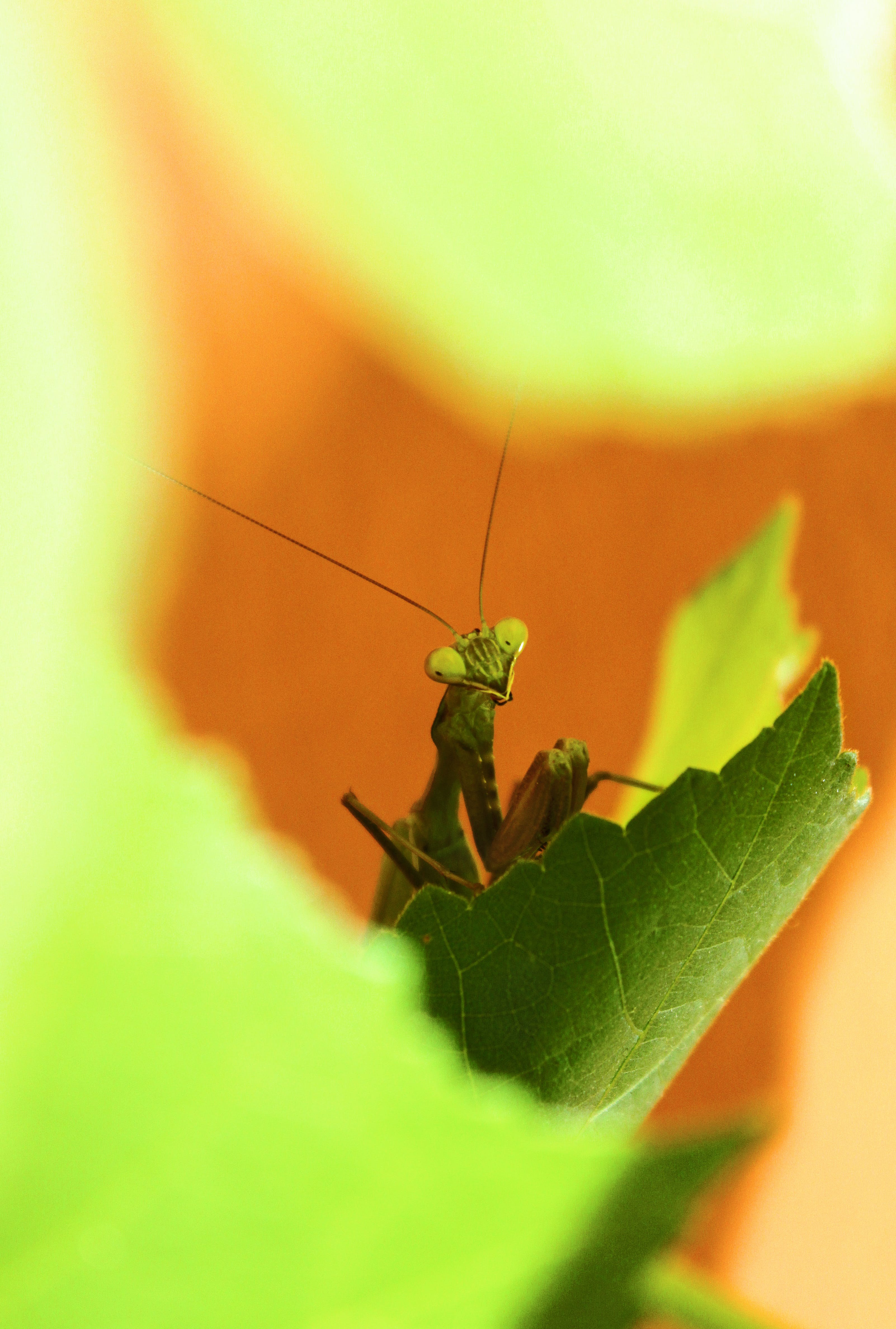 Free stock photo of green, insect, leaves, mantis
