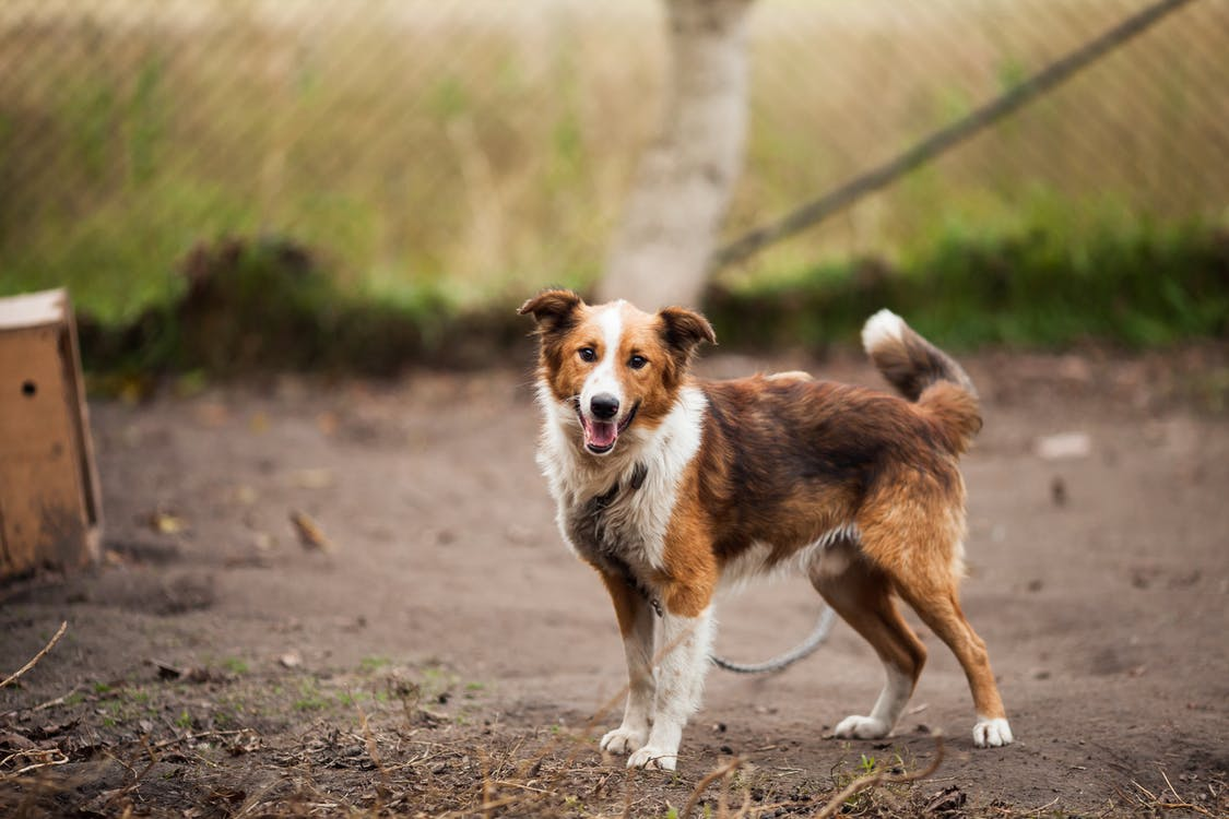 Border Collie Outdoor Near Brown Wooden Dog House