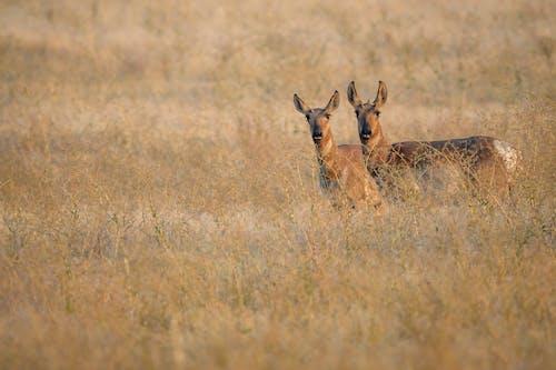 Adorable Antilocapra americana antelopes standing in dry grassy meadow