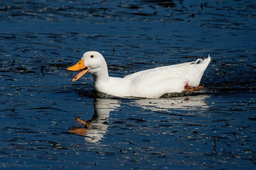White Duck on Water
