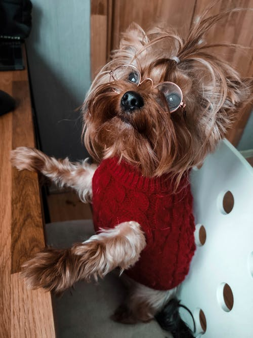 Brown Long Coated Small Dog in Red Shirt