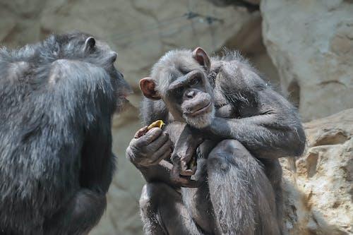 動物攝影, 棲息地, 猿 的 免費圖庫相片