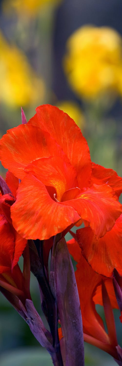 Free stock photo of flower, red flower, red flowers