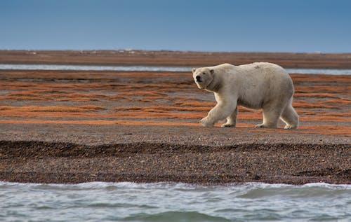 Polar Bear Walking on Shore