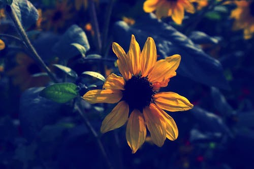 Ảnh lưu trữ miễn phí về hoa, hoa hướng dương, màu sắc