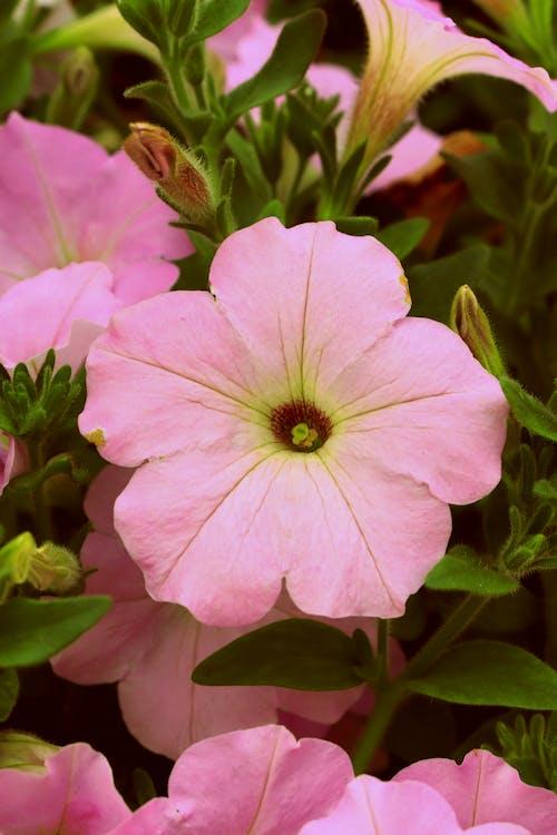คลังภาพถ่ายฟรี ของ กลีบดอกไม้, การเจริญเติบโต, กำลังบาน