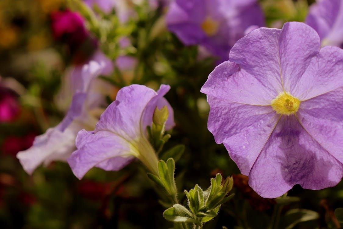 꽃, 보라색, 색깔의 무료 스톡 사진
