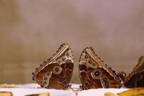 Ảnh lưu trữ miễn phí về Con bướm, nâu, yêu
