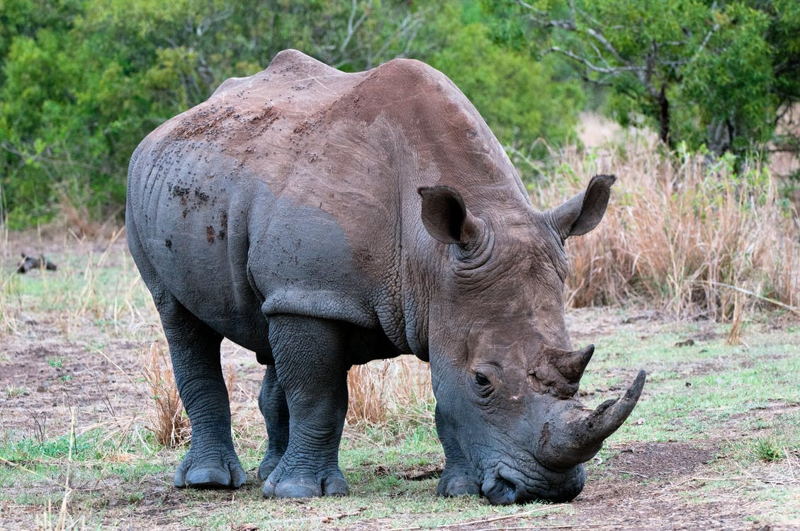 Free stock photo of animal, endangered, rhino