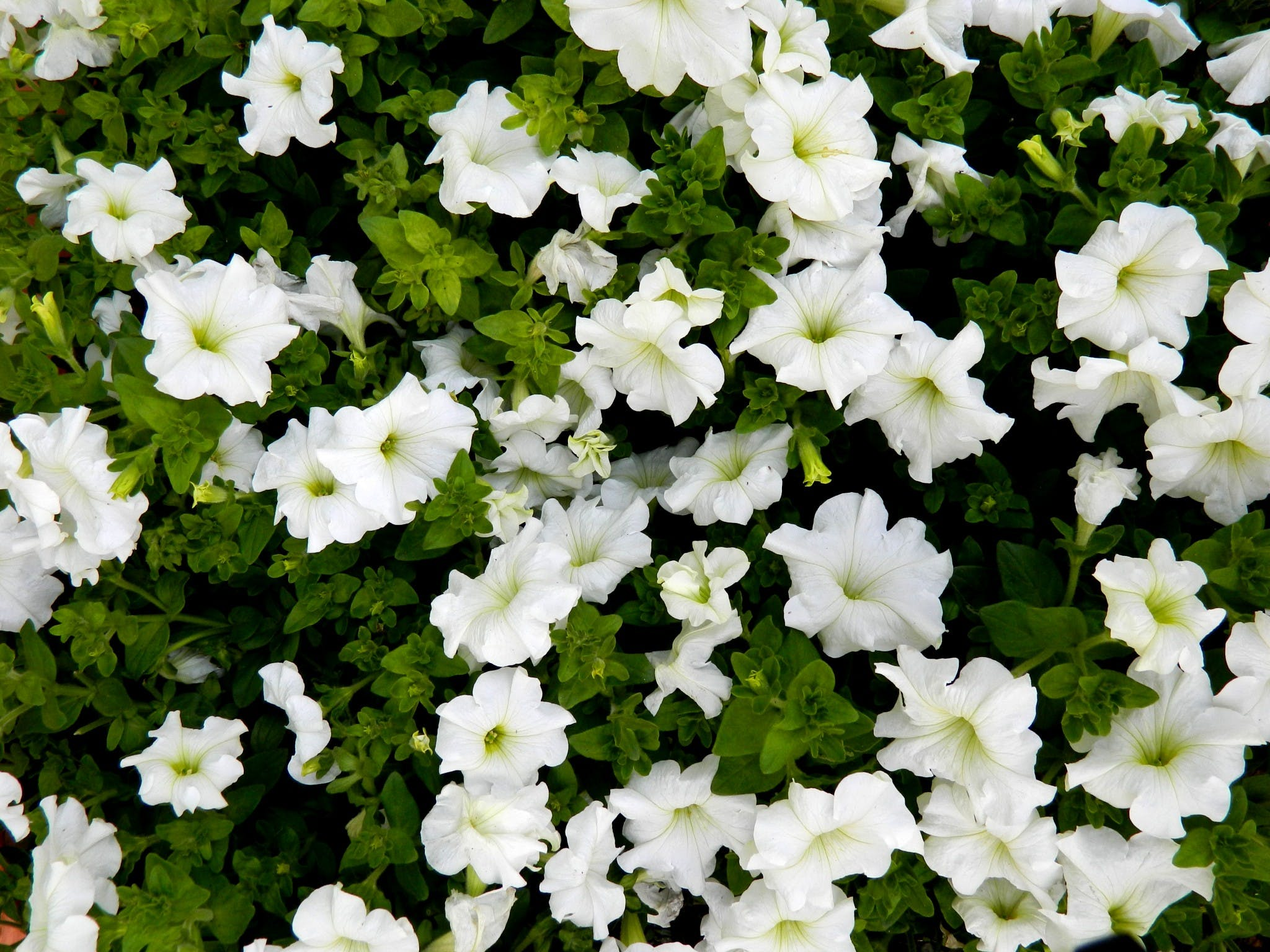 Free stock photo of flowers, white flowers