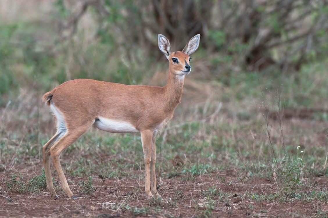 Free stock photo of antelope, buck, steenbok