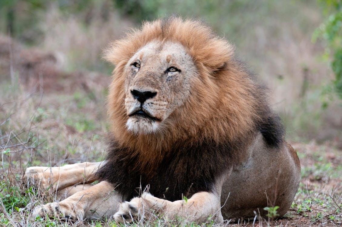 Free stock photo of big 5, dangerous animal, lion