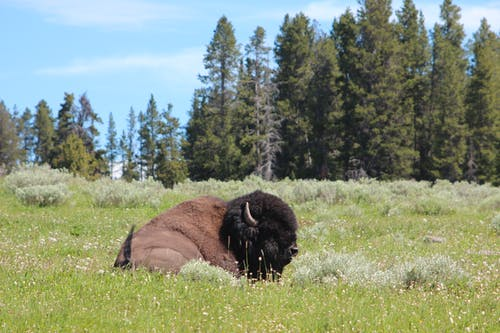 Free stock photo of barbaric, bison, buffalo