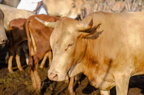 Herd of brown cows with sharp horns in daytime