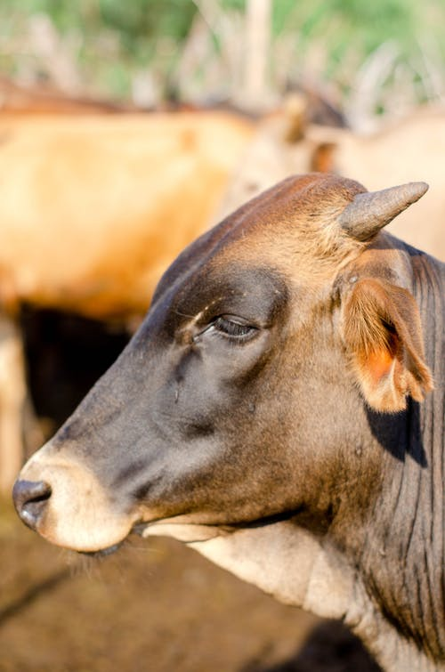Muzzle of brown bull of with sharp short horns on blurred background of herd in countryside