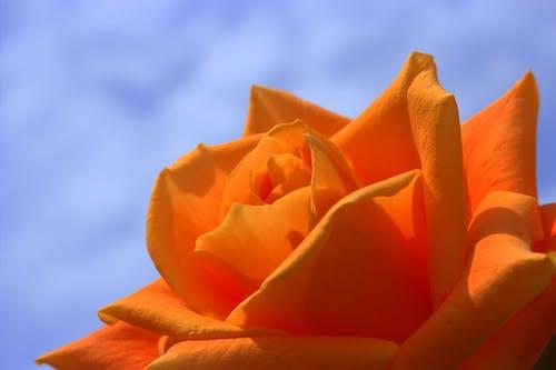 Imagine de stoc gratuită din floare, floră, înflorire, natură