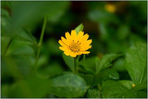 Free stock photo of beautiful flower, spring flower, yellow flower