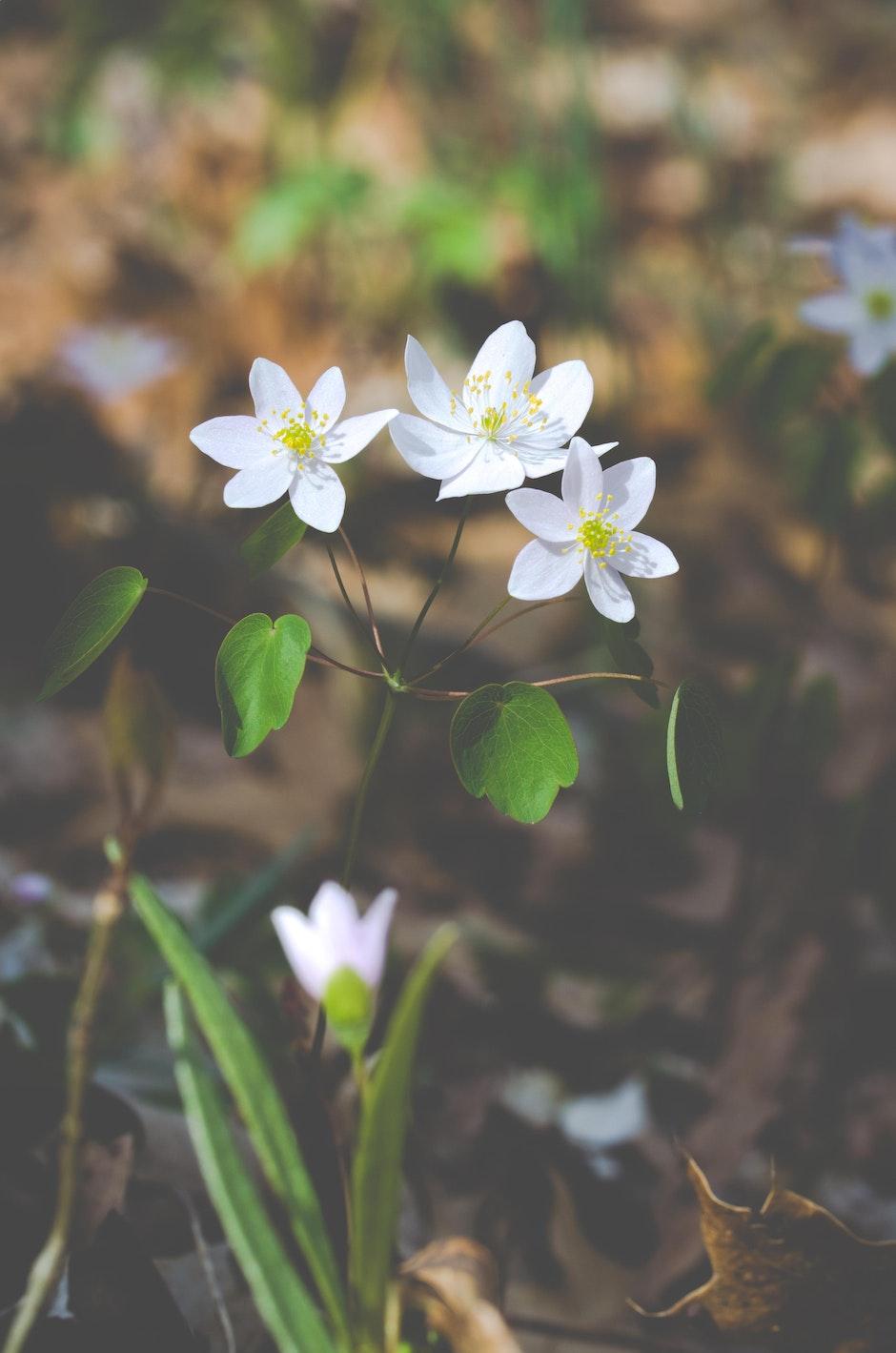 anemonella thalictroides, flower, garden