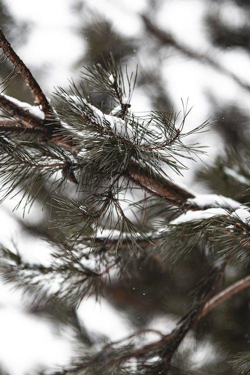 Immagine gratuita di abete, ago, albero