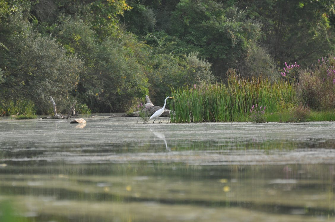 Free stock photo of birding, crane, egret