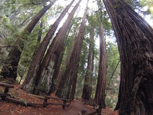 Free stock photo of muir woods, national forest, redwoods