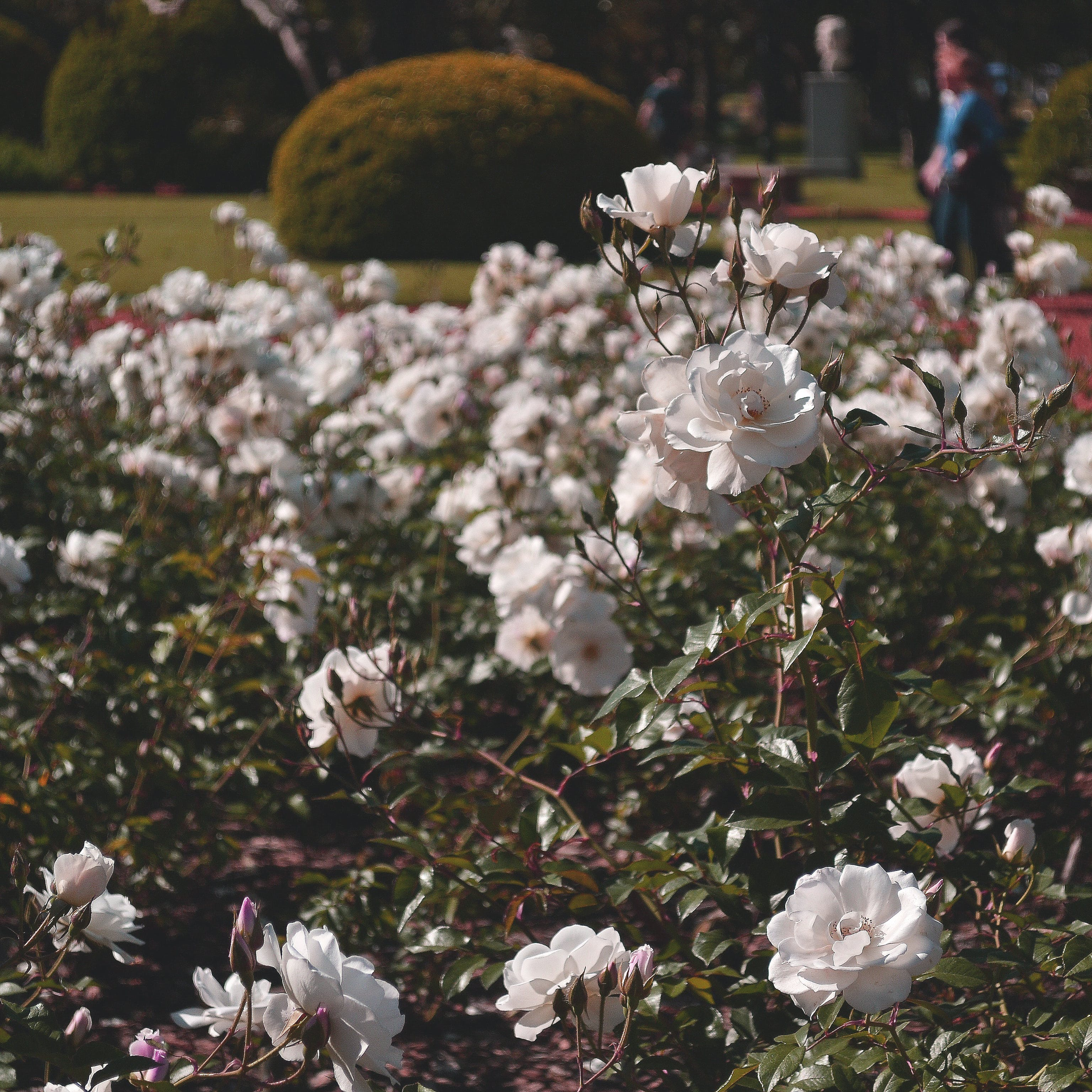 Selective Focus Photography of White Roses