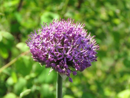 Free stock photo of allium, onion flower, purple flower