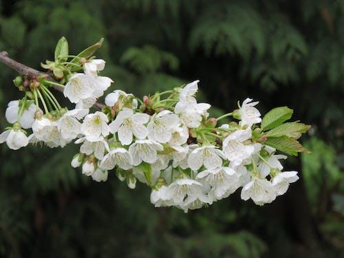 Free stock photo of cherry blossom, cherry tree, white cherry blossom