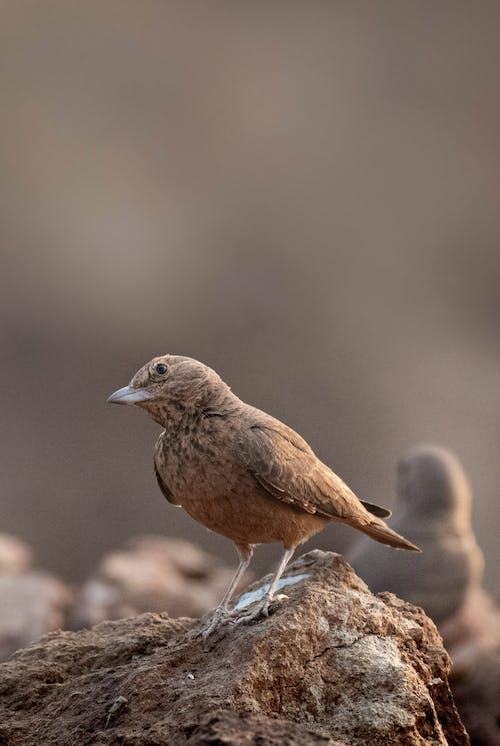 Immagine gratuita di ala, allodola dalla coda ruvida, ambiente