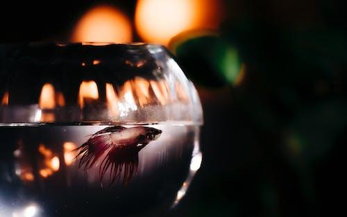 Photos gratuites de animal aquatique, images d'en-tête, poisson betta