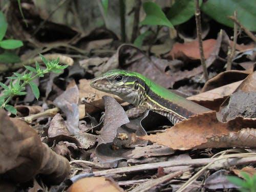トカゲ, 動物, 自然, 葉っぱの無料の写真素材