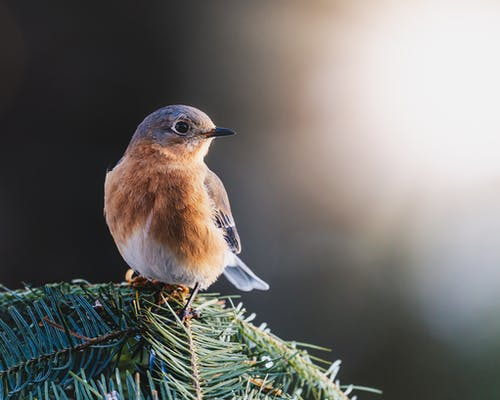 Little bird Sialia sialis with brown plumage on breast and gray blue on head and back and wings on pine branch