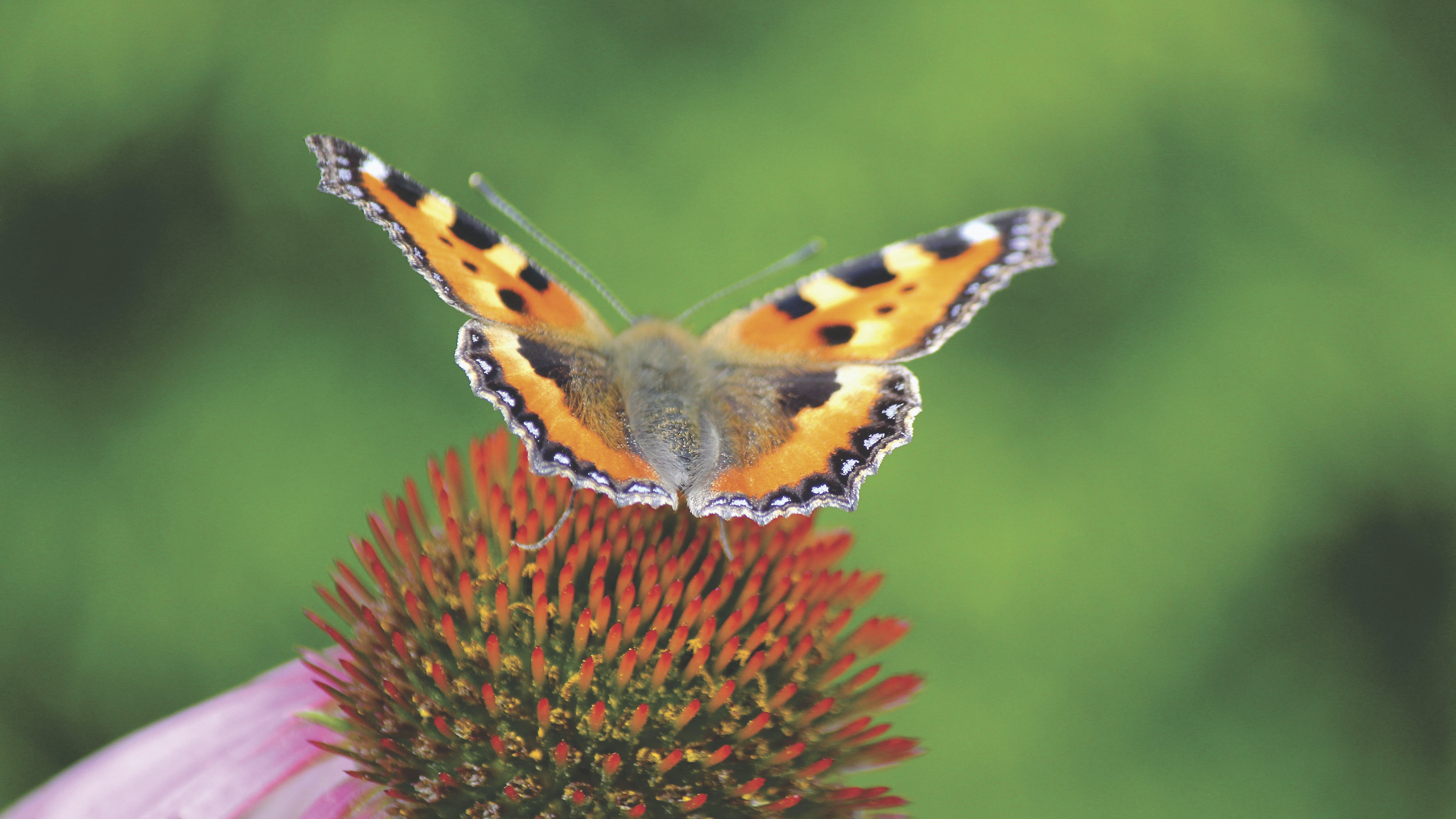 Brown Black and Gray Butterfly on Red and Green Flower