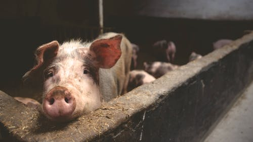 下田, 不錯, 動物, 動物養殖 的 免费素材照片
