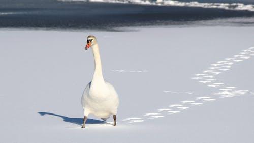 Ilmainen kuvapankkikuva tunnisteilla jalanjäljet, joutsen, lumi, luonto
