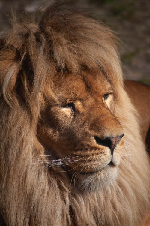 Strong lion with brown mane and whiskers looking away in zoological garden on blurred background